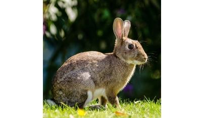 Nie je králik ako králik – zakrslý králik