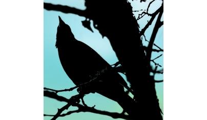Vrana čierna (Corvus corone