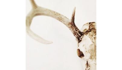 Určovanie veku ulovenej jelenej zveri