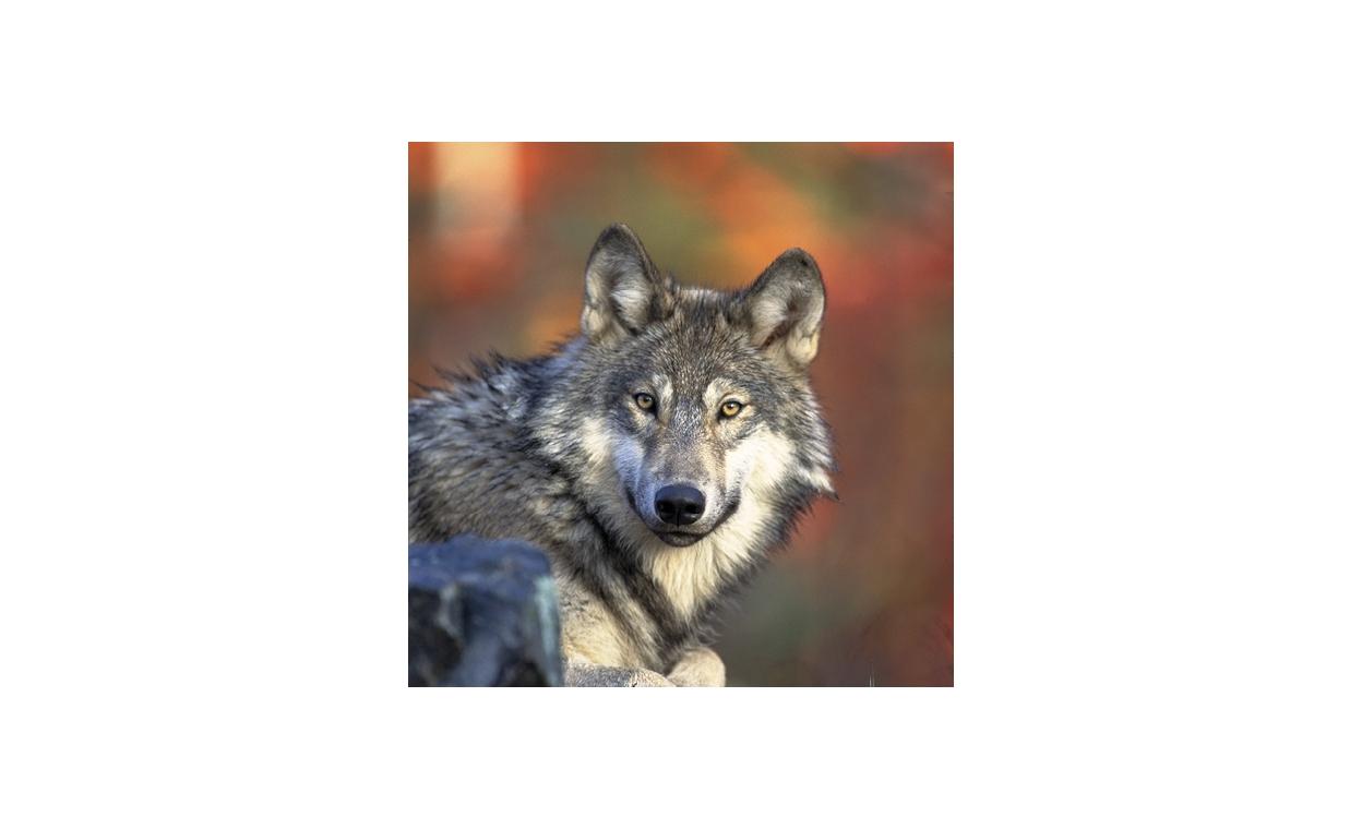 Vlk - sanitár alebo škodca?